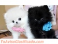 Cachorros pomeranian disponibles 770 7371988