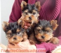 Cute adorable yorkie puppies! Male/Female