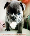 Hembra azul bulldog francés 13 semanas de edad para adopción